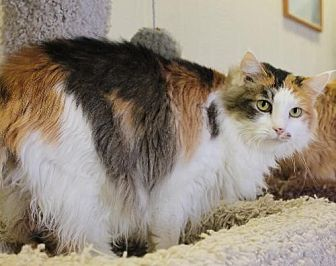 Domestic Longhair Cat for adoption in Golden Valley, Arizona - Nimbu