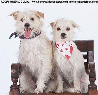 Terrier (Unknown Type, Small) Mix Dog for adoption in McKinney, Texas - Olivia