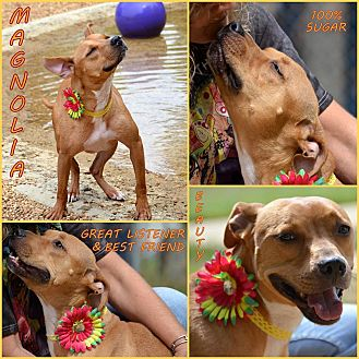 Pit Bull Terrier Mix Dog for adoption in Jackson, Mississippi - Magnolia