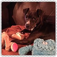 Adopt A Pet :: Cocoa - Albany, NY