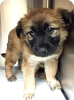 Shepherd (Unknown Type) Mix Puppy for adoption in San Francisco, California - Shel