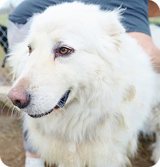 Great Pyrenees Dog for adoption in Iola, Texas - Oso