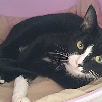 Domestic Shorthair Cat for adoption in Middletown, New York - Star