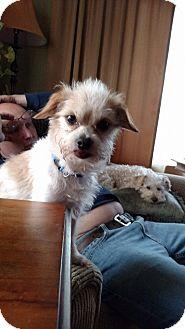 Maltese Mix Dog for adoption in Laingsburg, Michigan - Marley