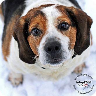Beagle Mix Dog for adoption in Lyons, New York - Yogi