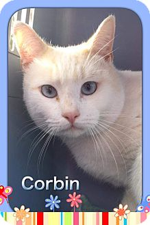 Siamese Cat for adoption in Atco, New Jersey - Corbin