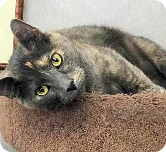 Domestic Shorthair Cat for adoption in Manchester, Missouri - Cleo