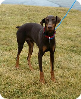 Doberman Pinscher Dog for adoption in Cameron, Missouri - Sammy