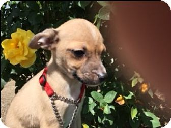 Chihuahua/Terrier (Unknown Type, Small) Mix Puppy for adoption in Elk Grove, California - MACI
