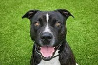 Pit Bull Terrier Mix Dog for adoption in West Palm Beach, Florida - Phantom