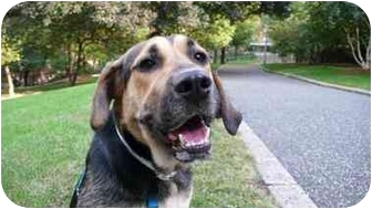 Hound (Unknown Type)/Shepherd (Unknown Type) Mix Dog for adoption in Long Beach, New York - Polo