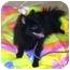 Photo 3 - Pomeranian Dog for adoption in Coal City, West Virginia - Baby Bear