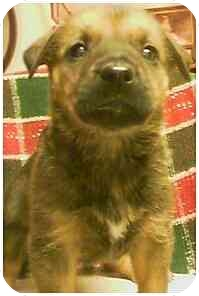 Australian Shepherd/Rhodesian Ridgeback Mix Puppy for adoption in Powell, Ohio - Toffee