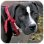 Photo 1 - Labrador Retriever/American Bulldog Mix Dog for adoption in Painesville, Ohio - OREO