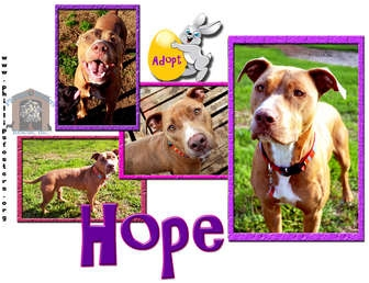 American Pit Bull Terrier/American Staffordshire Terrier Mix Dog for adoption in Colleyville, Texas - Hope