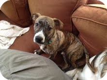 American Pit Bull Terrier Mix Dog for adoption in Nashville, Tennessee - Rocky