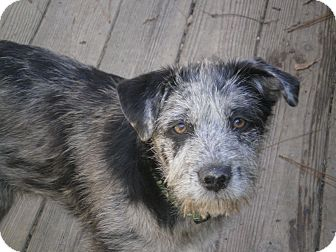 Catahoula Leopard Dog/Terrier (Unknown Type, Medium) Mix Puppy for adoption in Apex, North Carolina - Axel