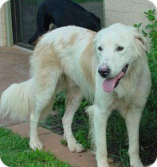 Great Pyrenees/Golden Retriever Mix Dog for adoption in Tulsa, Oklahoma - Teddy  *Adopted