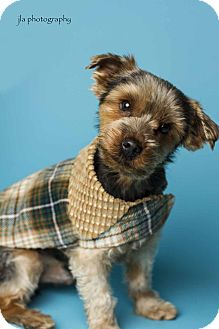 Yorkie, Yorkshire Terrier Dog for adoption in Baton Rouge, Louisiana - Duffy