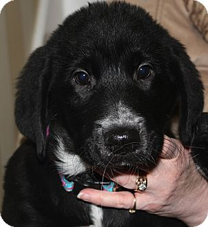 Labrador Retriever/Great Pyrenees Mix Puppy for adoption in Bloomington, Illinois - David ADOPTED