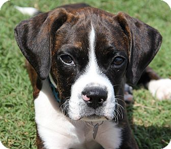 Boston Terrier/Beagle Mix Puppy for adoption in San Pedro, California - Buster