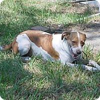 Adopt A Pet :: Brandy - Minneola, FL