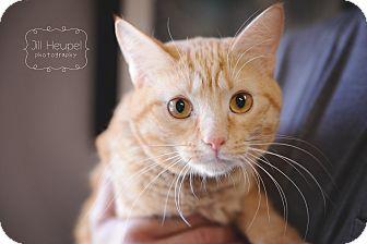 Domestic Shorthair Cat for adoption in Edwardsville, Illinois - Mufasa