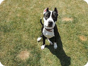 American Pit Bull Terrier Dog for adoption in Vernon Hills, Illinois - Frenchie