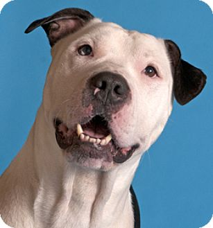 American Bulldog Dog for adoption in Chicago, Illinois - Flanigan