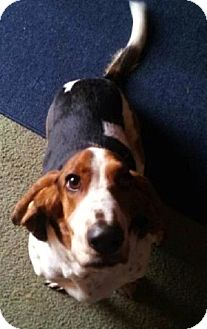Basset Hound Dog for adoption in Grapevine, Texas - Jack