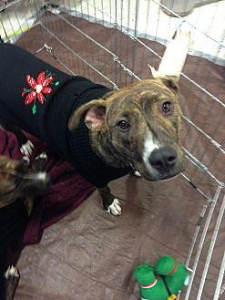 American Staffordshire Terrier/Hound (Unknown Type) Mix Dog for adoption in East Rockaway, New York - Beau