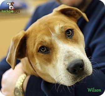 Labrador Retriever Mix Dog for adoption in Alpharetta, Georgia - Wilson