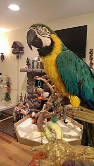 Macaw for adoption in Blairstown, New Jersey - Maria