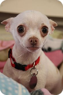 Chihuahua Mix Dog for adoption in Nashville, Tennessee - Cookie