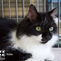 Domestic Shorthair Cat for adoption in Merrifield, Virginia - Katie