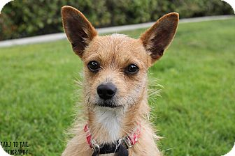 Norwich Terrier/Cairn Terrier Mix Puppy for adoption in Mission Viejo, California - Ryder