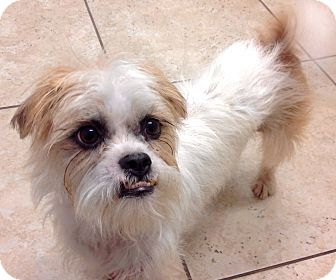 Brussels Griffon/Shih Tzu Mix Dog for adoption in Phoenix, Arizona - Griffin