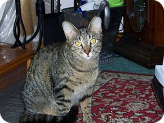 Domestic Shorthair Cat for adoption in Carlisle, Pennsylvania - PeanutCP