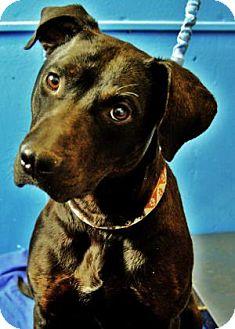 American Pit Bull Terrier/Labrador Retriever Mix Dog for adoption in Buena Vista, Colorado - Julie