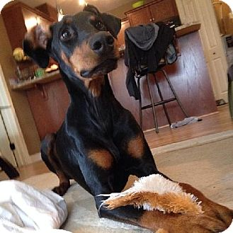 Doberman Pinscher Dog for adoption in Edmonton, Alberta - Twilly