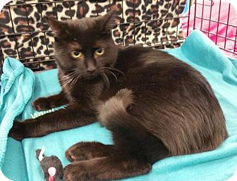 Domestic Shorthair Cat for adoption in Walworth, New York - Grace