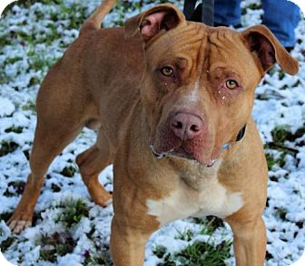 American Pit Bull Terrier Mix Dog for adoption in Ridgefield, Connecticut - Cheddar (Courtesy post)