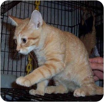 Domestic Shorthair Kitten for adoption in Blackstone, Virginia - Xavier