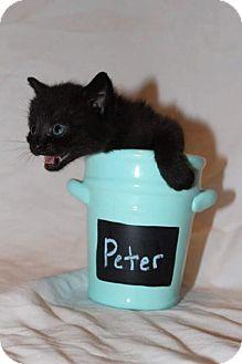 Domestic Shorthair Kitten for adoption in Fredericksburg, Virginia - Peter
