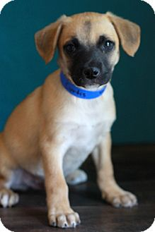 Shepherd (Unknown Type) Mix Puppy for adoption in Waldorf, Maryland - Curtis