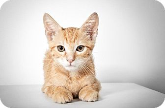 Domestic Shorthair Cat for adoption in New York, New York - Seamus