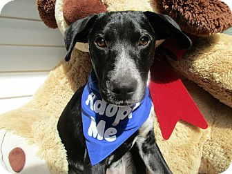 Labrador Retriever/Blue Heeler Mix Puppy for adoption in Baltimore, Maryland - Harley