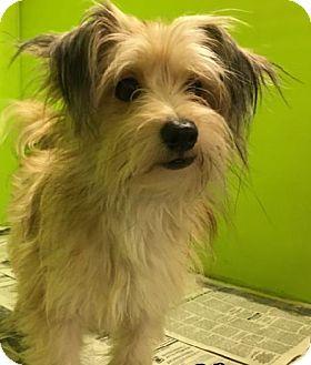 Yorkie, Yorkshire Terrier Mix Dog for adoption in San Francisco, California - Sawyer