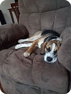 Hound (Unknown Type) Mix Dog for adoption in Laingsburg, Michigan - Mandoline
