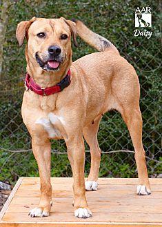 Labrador Retriever Mix Dog for adoption in Allston, Massachusetts - Daisy